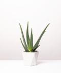 Aloes Zwyczajny, w białej doniczce betonowej hex