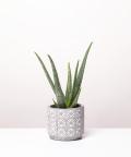 Aloes Zwyczajny, w doniczce jasnej szarej etnicznej