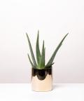 Aloes Zwyczajny, w lustrzanej gold doniczce