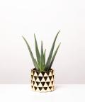 Aloes Zwyczajny, w złotej doniczce