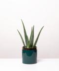 Aloes Zwyczajny, w zielonej doniczce z złotym paskiem