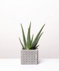 Aloes Zwyczajny, w szarym etnicznym kwadracie