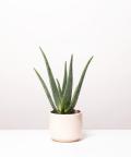 Aloes Zwyczajny, w kremowym ceramicznym walcu