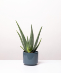 Aloes Zwyczajny, w szarym ceramicznym walcu