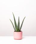 Aloes Zwyczajny, w różowym ceramicznym walcu