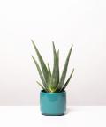 Aloes Zwyczajny, w turkusowym ceramicznym walcu