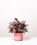 Begonia Królewska, w różowym ceramicznym walcu