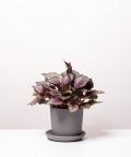 Begonia Królewska, w szarej doniczce ceramicznej