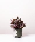 Begonia Królewska, w dwukolorowej zielonej doniczce betonowej