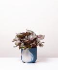 Begonia Królewska, w dwukolorowej niebieskiej doniczce betonowej