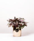 Begonia Królewska, w lustrzanej gold doniczce