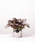 Begonia Królewska, w lustrzanej doniczce