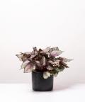 Begonia Królewska, w czarnym ceramicznym walcu
