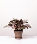 Begonia Królewska, w szarej doniczce ceglanej