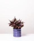 Begonia Królewska, w fioletowej doniczce ceramicznej