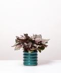 Begonia Królewska, w turkusowej doniczce ceramicznej
