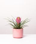 Tillandsia cyanea 'Anita', w różowym walcu ceramicznym