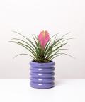 Tillandsia cyanea 'Anita', w fioletowej doniczce ceramicznej