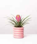 Tillandsia cyanea 'Anita', w różowej doniczce ceramicznej