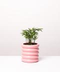 Chamedora Wytworna Mini, w różowej doniczce ceramicznej
