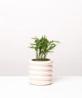 Chamedora Wytworna Mini, w kremowej doniczce ceramicznej