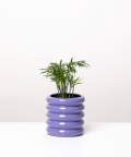 Chamedora Wytworna Mini, w fioletowej doniczce ceramicznej