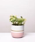 Epipremnum Happy Leaf, w różowej doniczce z paskiem