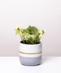 Epipremnum Happy Leaf, w dwukolorowej szarej doniczce z paskiem