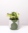 Epipremnum Happy Leaf, w dwukolorowej zielonej doniczce betonowej