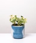 Epipremnum Happy Leaf, w dwukolorowej niebieskiej doniczce betonowej