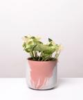 Epipremnum Happy Leaf, w dwukolorowej różowej doniczce betonowej