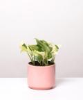 Epipremnum Happy Leaf, w różowym walcu ceramicznym