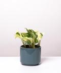 Epipremnum Happy Leaf, w szarym walcu ceramicznym