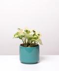 Epipremnum Happy Leaf, w turkusowym walcu ceramicznym