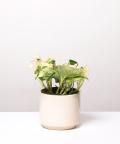Epipremnum Happy Leaf, w kremowym walcu ceramicznym