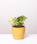 Epipremnum Happy Leaf, w żółtej betonowej doniczce