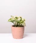 Epipremnum Happy Leaf, w różowej betonowej doniczce