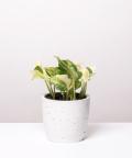 Epipremnum Happy Leaf, w białej betonowej doniczce