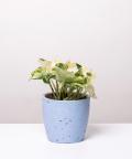 Epipremnum Happy Leaf, w niebieskiej betonowej doniczce