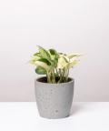 Epipremnum Happy Leaf, w szarej betonowej doniczce