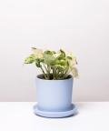 Epipremnum Happy Leaf, w lazurowej doniczce ceramicznej