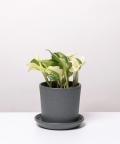 Epipremnum Happy Leaf, w kamiennej doniczce ceramicznej