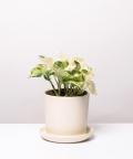 Epipremnum Happy Leaf, w kremowej doniczce ceramicznej