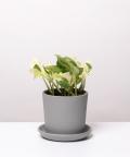 Epipremnum Happy Leaf, w szarej doniczce ceramicznej
