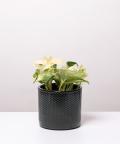 Epipremnum Happy Leaf, w czarnym ceramicznym walcu