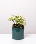 Epipremnum Happy Leaf, w zielonym walcu ze złotym paskiem