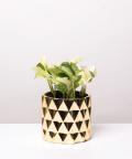 Epipremnum Happy Leaf, w złotej doniczce ceramicznej