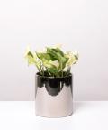 Epipremnum Happy Leaf, w lustrzanej doniczce ceramicznej