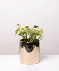 Epipremnum Happy Leaf, w lustrzanej gold doniczce ceramicznej