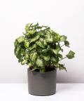 Syngonium Pixie, w zielonym ceramicznym walcu